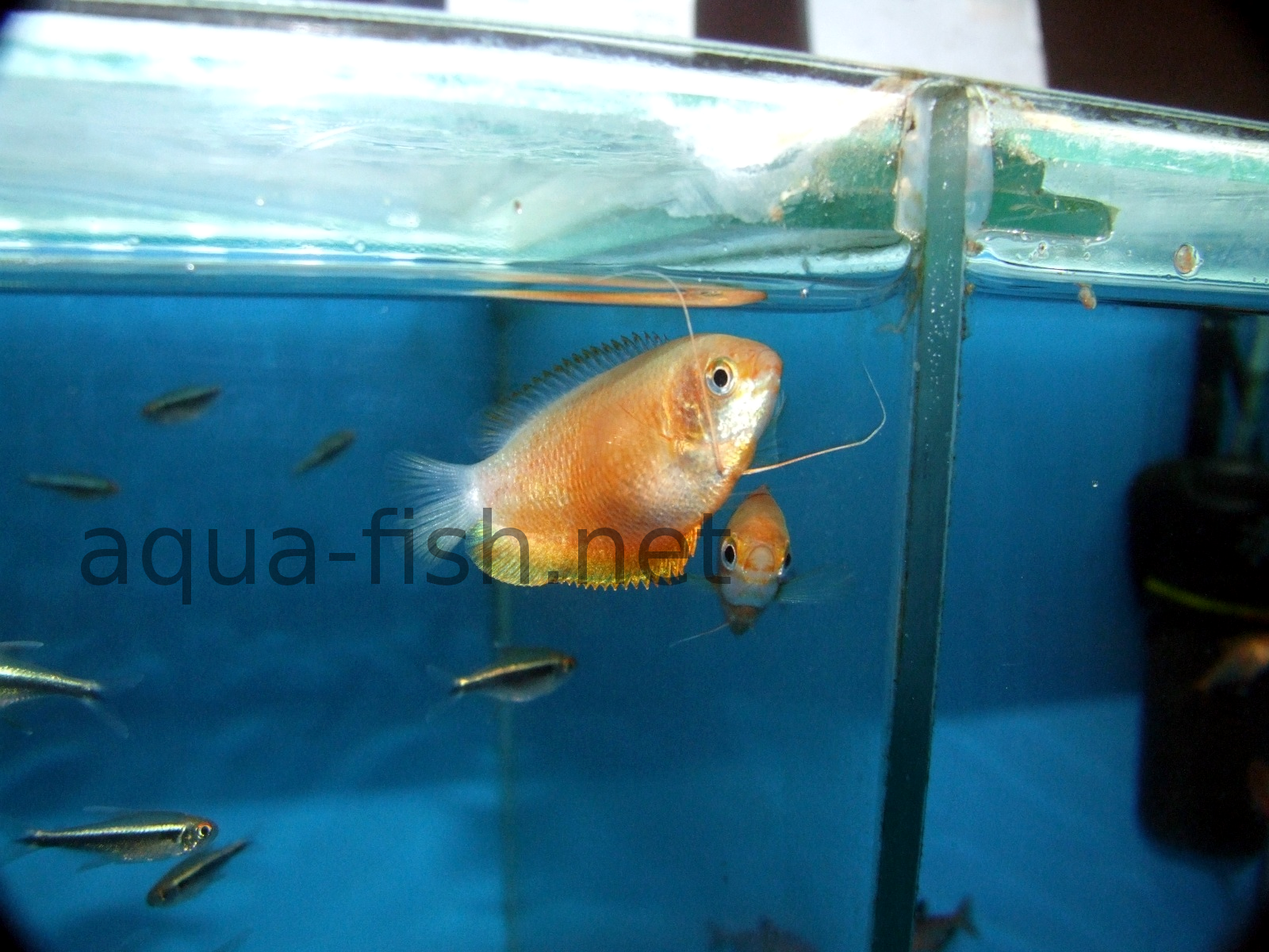 An article about keeping and breeding colisa lalia dwarf for Fish breeding net