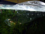 Initial fish acclimatisation - bag in tank, resized image 3