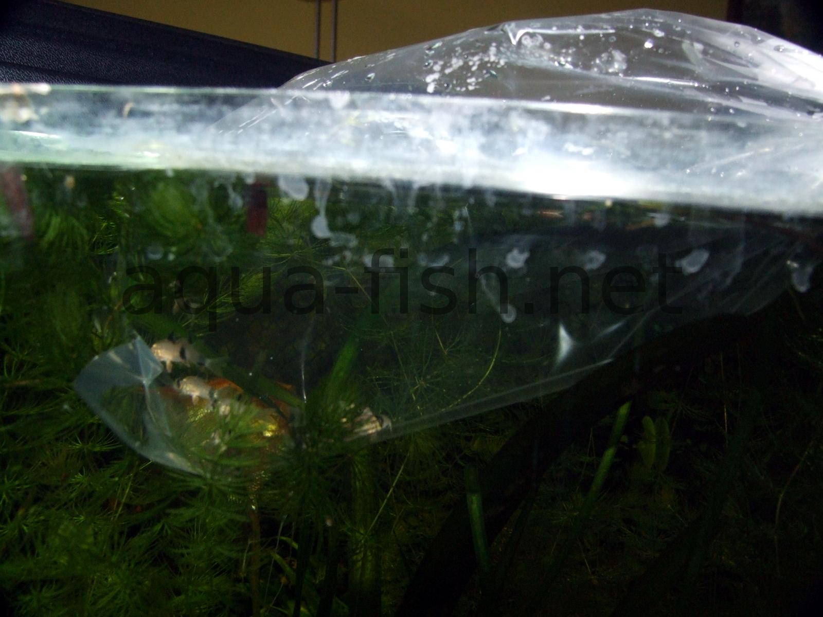 Freshwater fish looks like dolphin -  Initial Fish Acclimatization Bag In Tank Resized Image 3