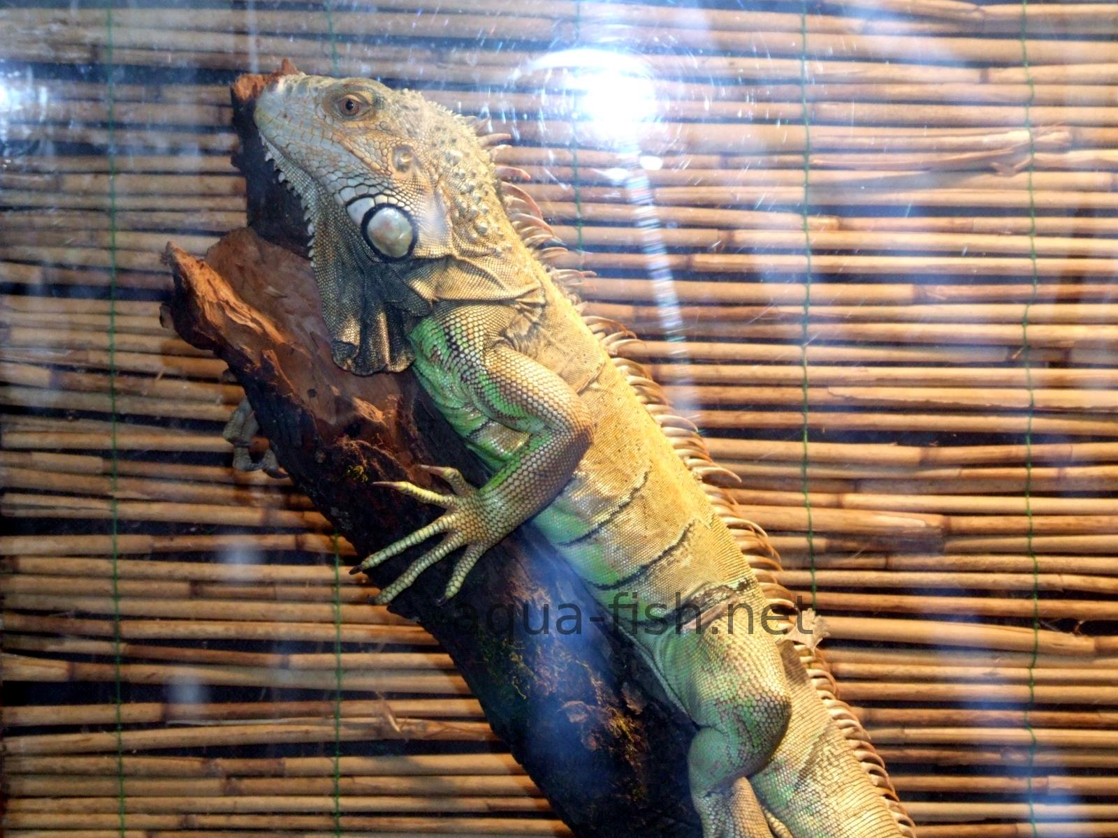 Iguana Common Resized Image 1