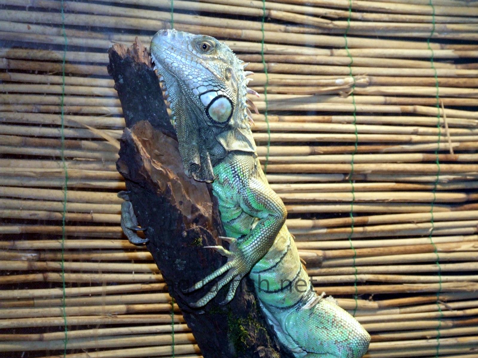 Iguana Common Resized Image 2