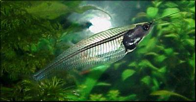 Glass catfish - Kryptopterus bicirrhis