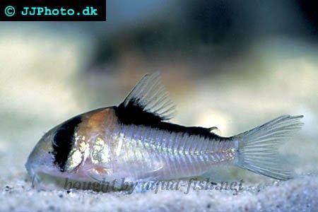 How to raise and breed Adolfo?s corydoras (Corydoras adolfoi) in ...