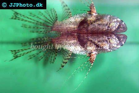 Tips and forum on caring for african butterfly fish for African butterfly fish