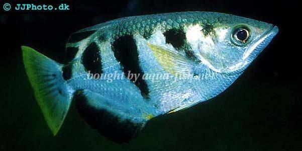 Archer fish - Toxotes jaculatrix