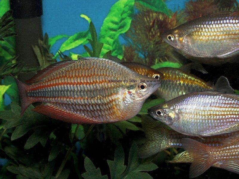 A page devoted to caring for australian rainbowfish for Rainbow fish species