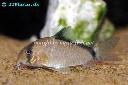 Bandit Corydoras : profile of Bandit corydoras (Corydoras metae) with forum