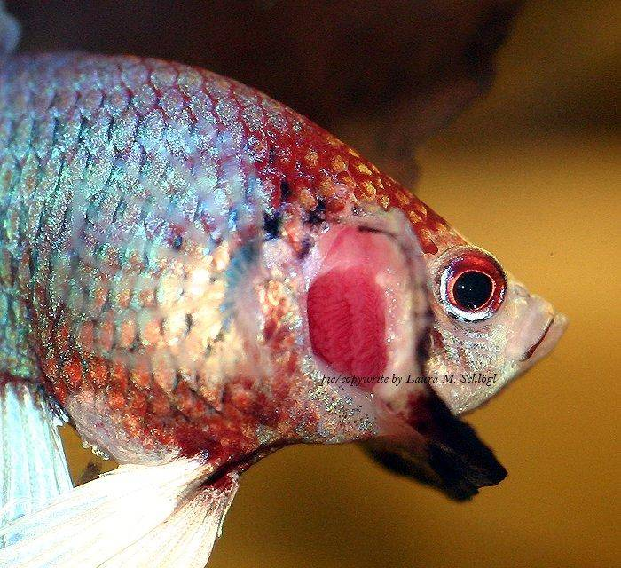 How to care for siamese fighting fish images and discussion for Betta fish together