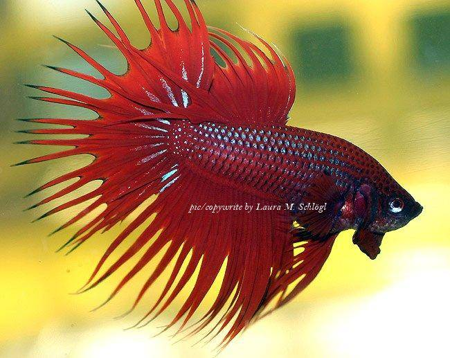 Can Humans Eat Betta Fish Food
