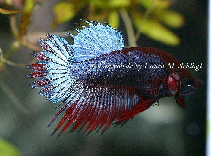 How to care for siamese fighting fish images and discussion for Betta fish mating