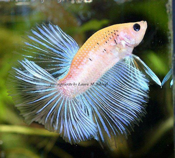 Keeping and breeding the bettas fish in aquariums for Betta fish together