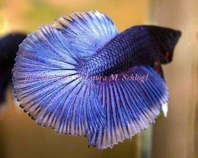 Siamese fighting fish - Betta splendens