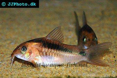 Black band catfish - Corydoras zygatus