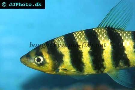 caring for black banded leporinus leporinus fasciatus