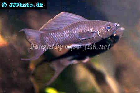 A guide and forum on caring for short finned mollies for Black molly fish