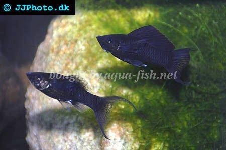 A guide on keeping and breeding mollies with forum and images for Black fish eggs