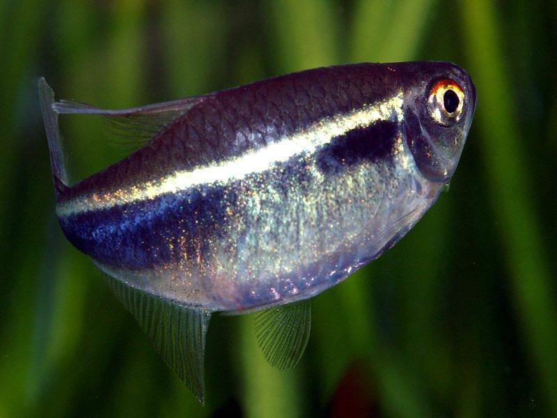 Information on caring for black neon tetras for Black fish eggs