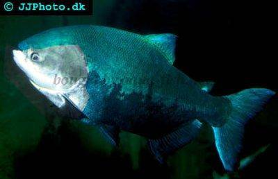Black pacu - Colossoma macropomum