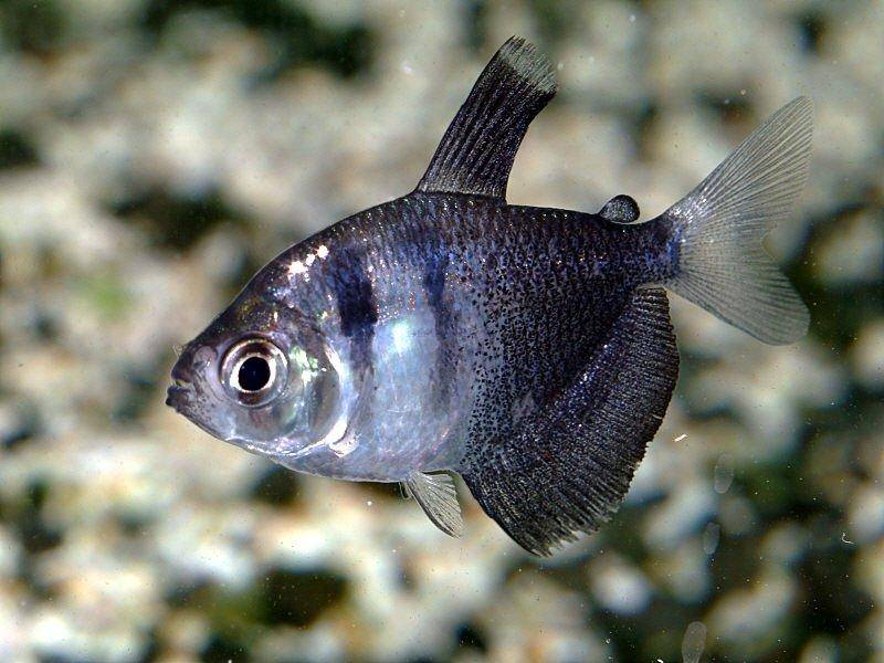 An article dedicated to raising black skirt tetras in fish for Types of tetra fish