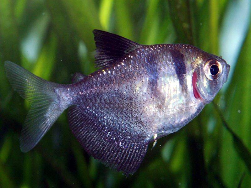 Profile of the black skirt tetra gymnocorymbus ternetzi for Tetra acquario