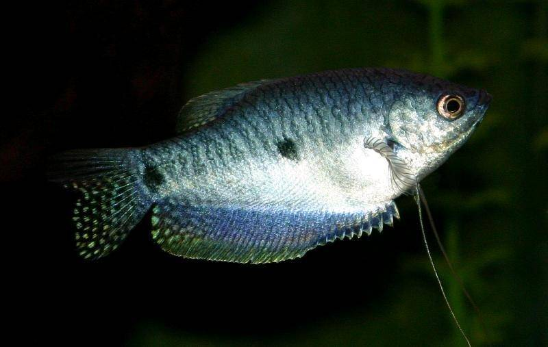 Recommended Care Of Blue Gourami Faq And Forum
