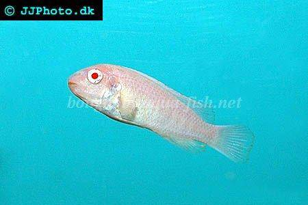 How to keep blue mbuna 39 s labeotropheus fuelleborni in for How to euthanize a fish