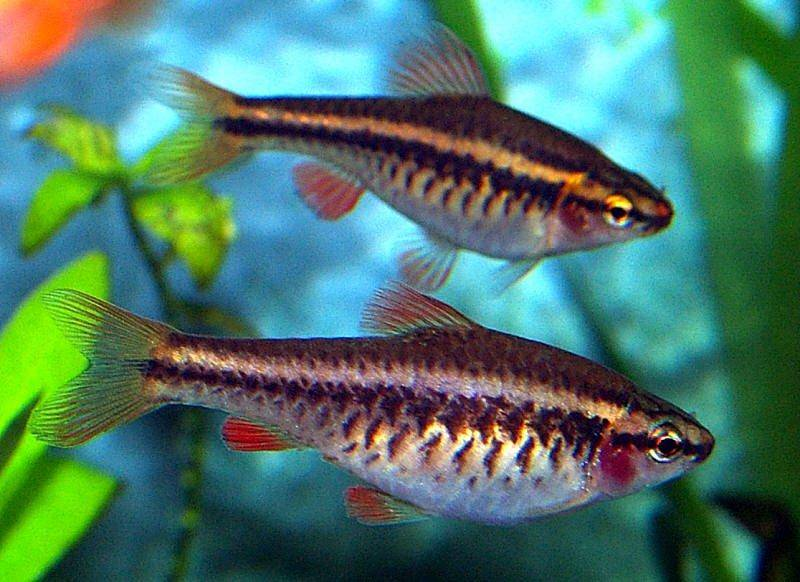 Cherry barb - Proper care, feeding, breeding & forum