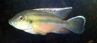 Guenther's mouthbrooder - Chromidotilapia guentheri