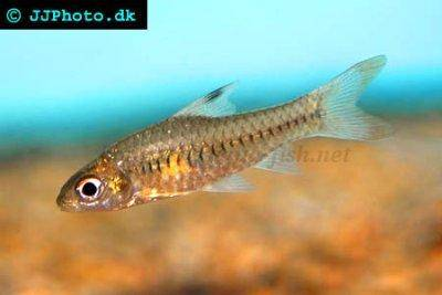 Congo barb - Barbus callipterus