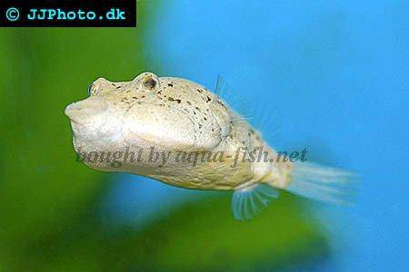 A profile of congo puffer tetraodon miurus with images for Puffer fish diet