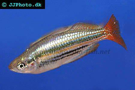 Tips and advice on caring for dwarf rainbowfish for Dwarf rainbow fish