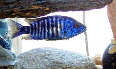 Electric blue hap - Sciaenochromis ahli