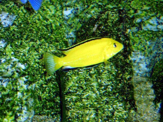 Electric Yellow Cichlid : Care, diet and breeding the Electric Yellow Cichlid