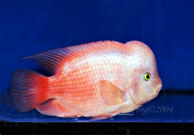 A forum and guide on keeping Flowerhorns with images