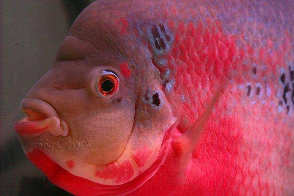 301 moved permanently for Flower horn fish