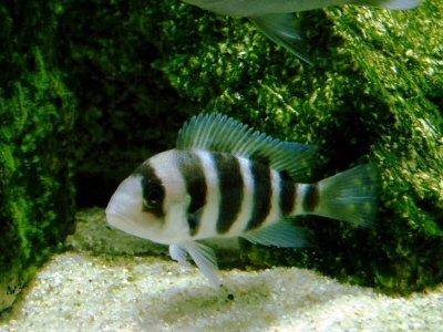 Baby Frontosa Cichlid A profile of Frontosa ...