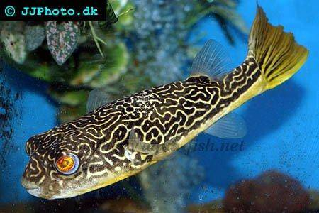 An article on keeping giant pufferfish with forum for Giant puffer fish