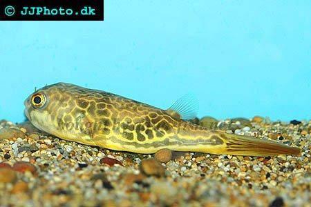 Tips on raising Giant puffer fish (Tetraodon mbu)