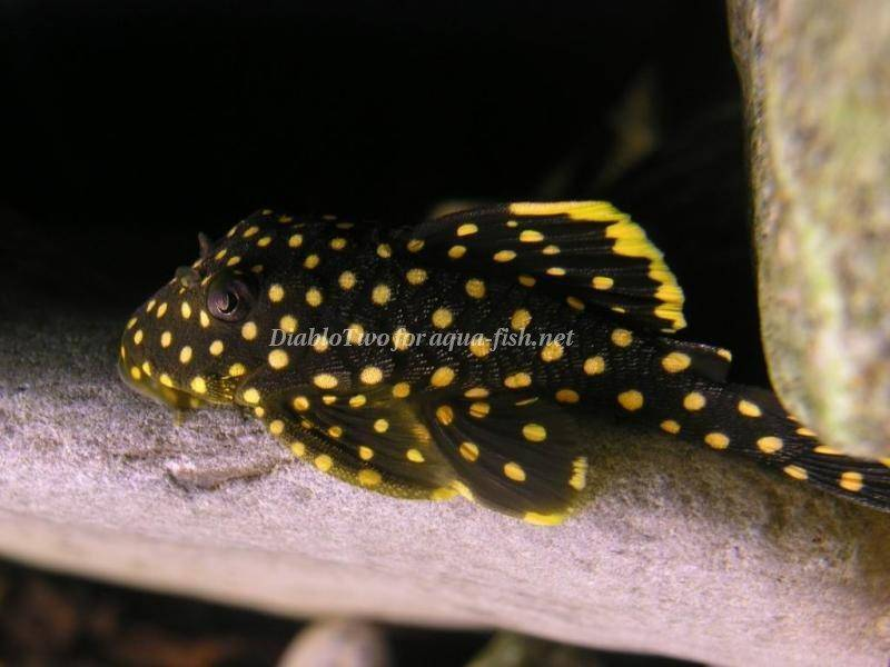 An advice on raising gold nugget pleco baryancistrus sp for Pleco fish food