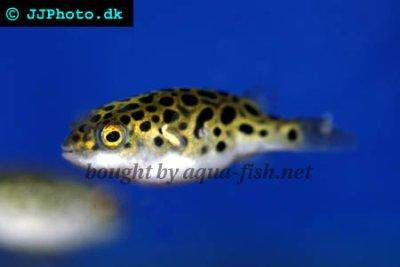 Green pufferfish - Tetraodon nigroviridis