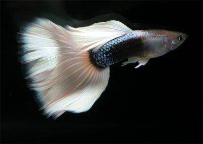 information on keeping guppies in fish tanks