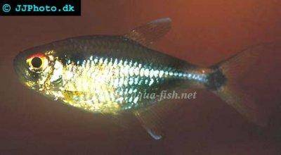 profile of Head and tail light tetra (Hemigrammus ocellifer) with ...