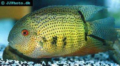Banded cichlid - Heros notatus