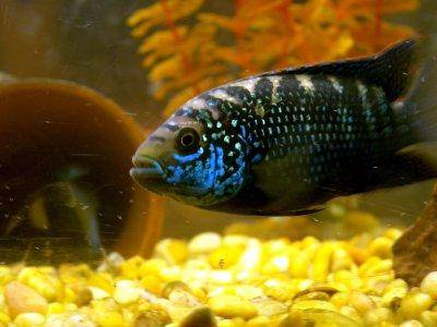 Details about caring for jack dempsey cichlasoma for Jack dempsey fish