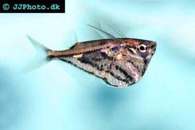 Marbled hatchetfish - Carnegiella strigata