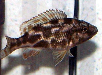 Marbled livingston's hap - Nimbochromis livingstonii