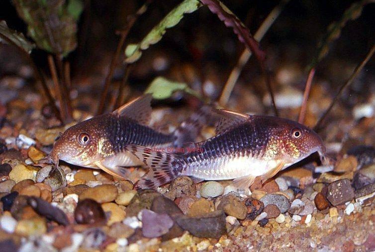 Palespotted corydoras corydoras gossei for Cory cat fish