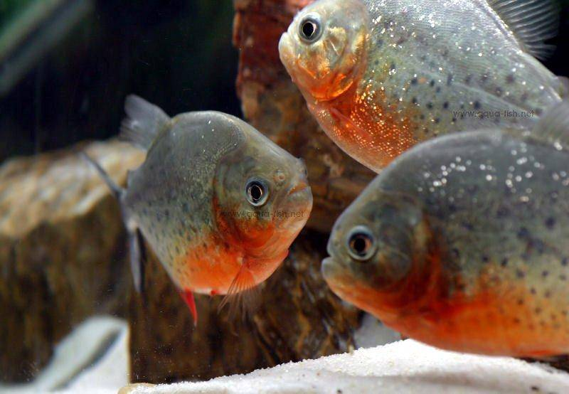 How to care for red bellied piranha inlcuding forum and images for Pictures of piranha fish