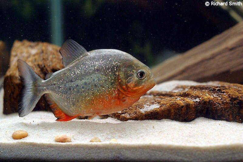 How to care for red bellied piranha inlcuding forum and images for Piranha fish tank