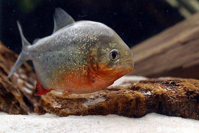 Piranhas diet?